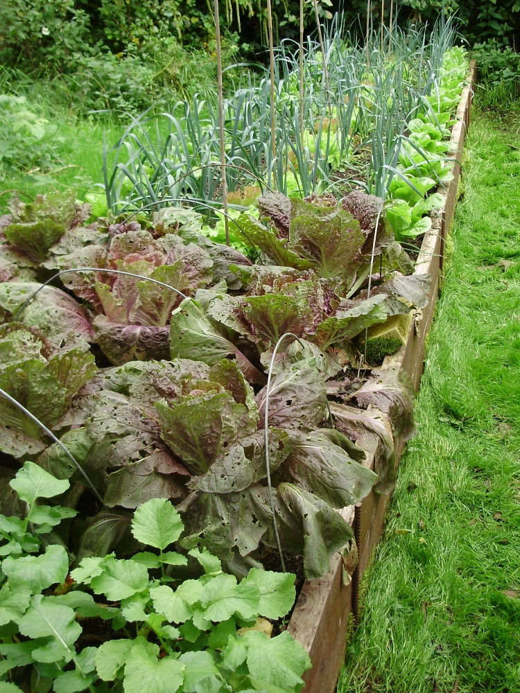 Leeks inter-planted with lettuce. In the foreground Oriental radishes & Chinese cabbage Scarlette - keeping the soil well-covered.