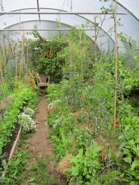NE bed, Rosada and Blush tomatoes starting to ripen, celery Chinese Pink forming seed in centre. Early peach ripening at top end