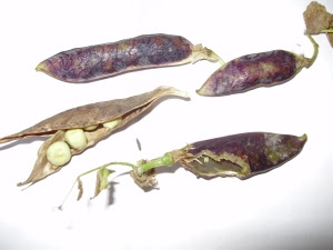 Mouse damage of precious Purple Podded peas - the joys of seed saving!