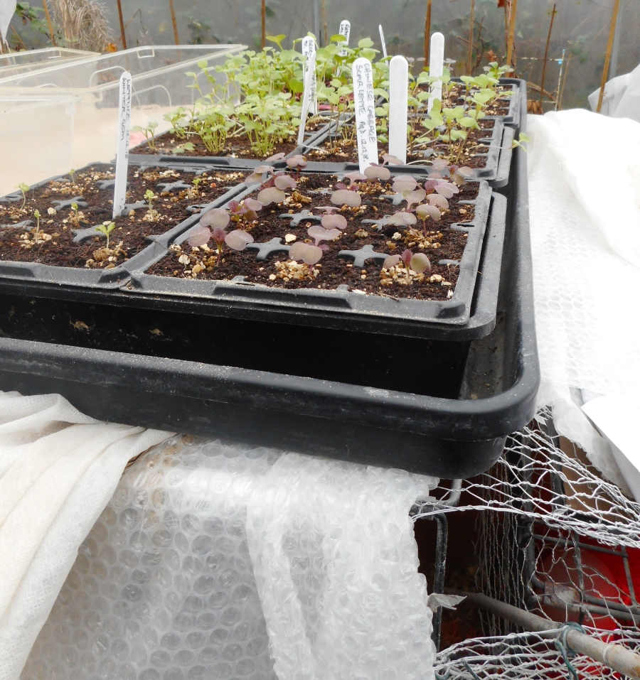Very surprised and pleased with 12th Dec-sown seedlings on top of chicks nursery